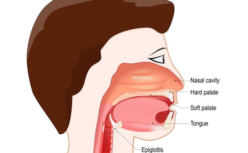 Mekanisme Kerja Dari Katup Epiglotis