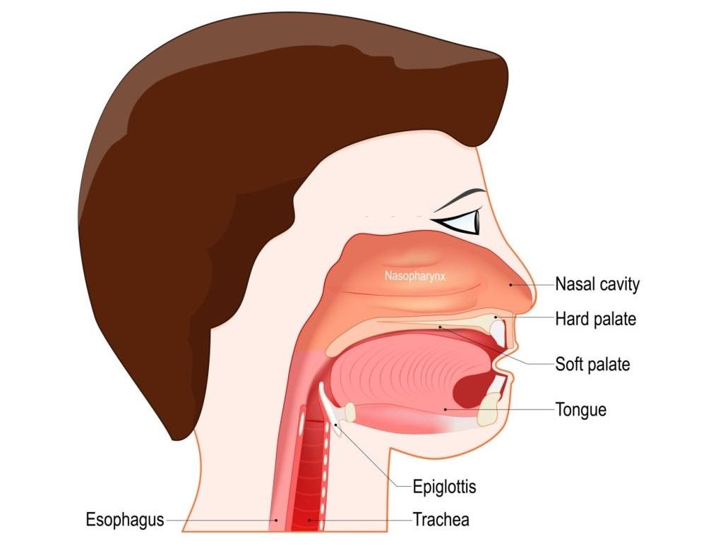 Bagaimanakah mekanisme kerja dari katup epiglotis